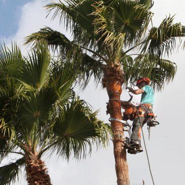 Nueva Andalucía inicia una campaña de poda de palmeras en la zona de La Campana que beneficiará a 60 ejemplares