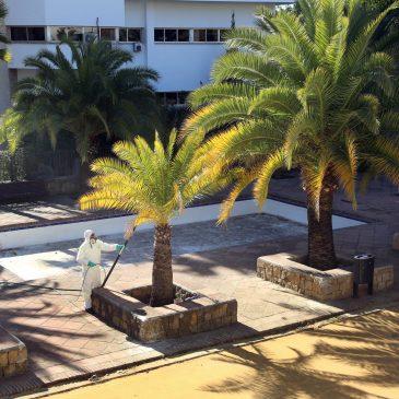 El Ayuntamiento pone en marcha la primera fase del tratamiento fitosanitario en 500 palmeras del término municipal