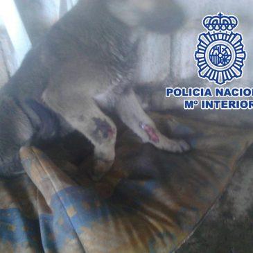 En el marco de seis investigaciones distintas contra el maltrato animal  La Policía Nacional detiene en Vélez-Málaga (Málaga) a 10 personas por maltratar a 16  perros en fincas y viviendas de la localidad
