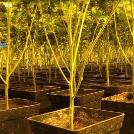 Gracias a un operativo pionero en Europa denominado Operación Verde,  que ha contado con el apoyo de Interpol y Europol   La Policía Nacional lidera la lucha internacional contra el cultivo y el tráfico ilícito de marihuana